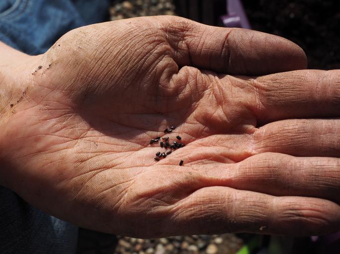 levandulová semínka na dlani